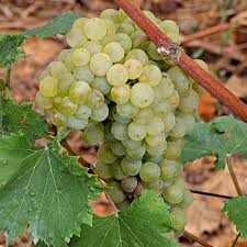 lumassina vitigno